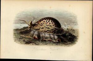 Sea Life Porcelain sea flower shore life 1854 Natural History hand color print