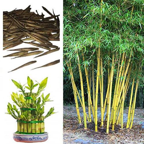 Bambusa Nutans Bamboo Seeds burmese timber Growing Garden Plant