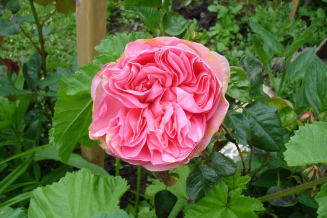 Guy De Maupassant Rose Live Plant Bare Rooted
