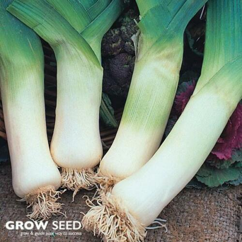 AUGUST Giant Winter Leek 500 Seeds SOW FEB