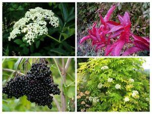 20-Elderberry-Shrub-Seeds-Mixed-Sambucus-Delicious-Rare-Edible-Fruit-Tree-Bonsai