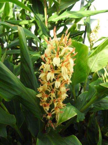 Hedychium densiflorum 'Stephen' plant 2L