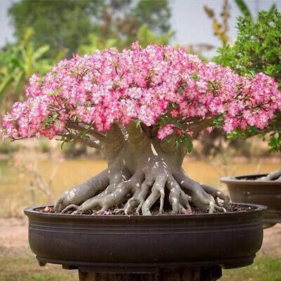 Set of 4 Rare Adenium Thai Socotranum Desert Rose Bonsai 4 Plants Free Phyto