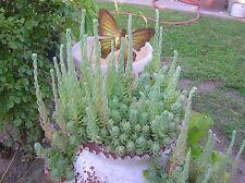 """Blue Spruce"" Sedum Reflexum-8 Nice cuttings"