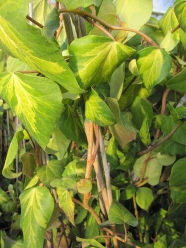 Hedera colchica Sulphur Heart Kaukasischer Efeu Sulphur Heart 60-100