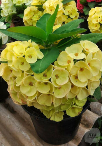 LOT!NEW!!50 plant with root Crown of thorns plant Euphorbia milli w Certificate
