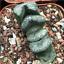Haworthia-truncata-Succulent-plants-potted-Plants-Home-Garden-Bonsai-Garden thumbnail 1