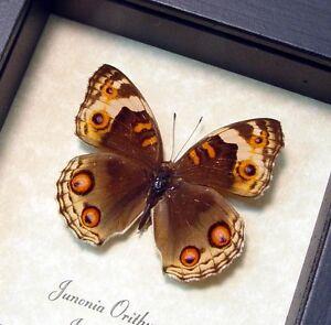Real Framed Junonia Orithya Female Butterfly 102F