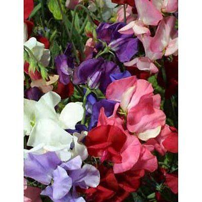 FLOWER SWEET PEA DWARF BIJOU MIX  80 FLOWER SEEDS
