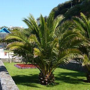 Image Is Loading Phoenix Palm Tree Hardy Garden Patio Pot Tropical