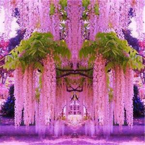 30pcs-Purple-Wisteria-Flower-Seeds-Perennial-Climbing-Plants-Bonsai-Home-Garden