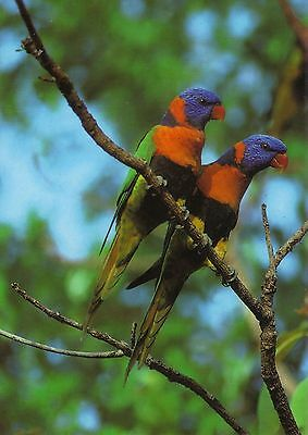 Australien: Regenbogen - Lori - Rainbow Lorikeet