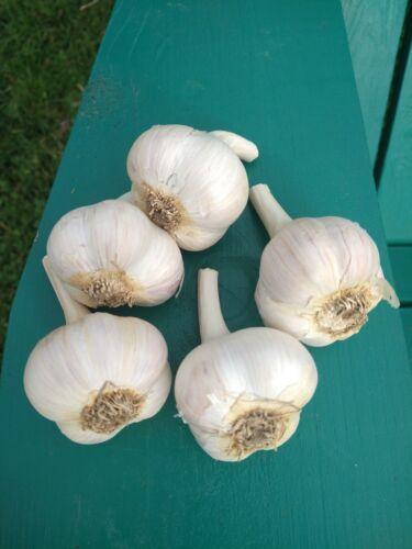 5 Bulbs Fall Planting Garlic Bulbs Music Hardneck garlic