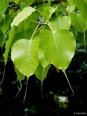 Buddha Tree 1000 Seeds Sacred fig Religious fig Ficus Religiosa