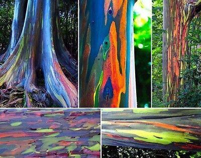 EUCALIPTO ARCOIRIS Eucalyptus deglupta 100 semillas seeds