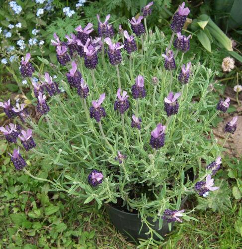 Französischer Lavendel 200 Samen Lavandula stoechas Elegant Beautiful Comb