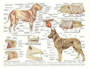 A3 Vétérinaire Poster – Muscles & Organs Of The Dog (animal Anatomie Pathologie)-afficher Le Titre D'origine Ventes Bon Marché
