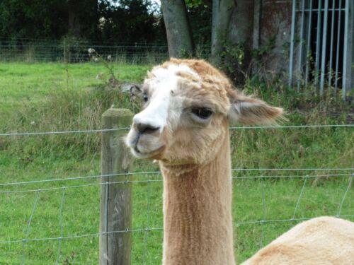 Alpaca Blanket 100/% for spinning or felting 1kg faun