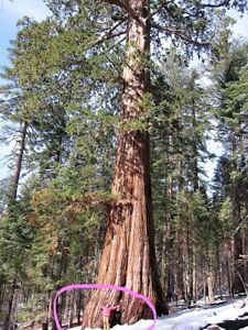 40-GIANT-SEQUOIA-Sequoiadendron-Giganteum-Sierra-Redwood-Tree-Seeds-Flat-Ship