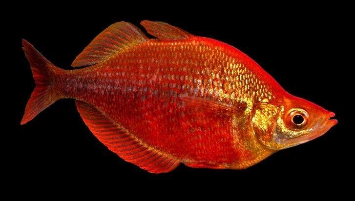 10 (ten) x Glossolepis incisus (Rainbowfish)