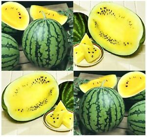 BULK-PETITE-YELLOW-WATERMELON-Seeds-HOME-FARM-MARKETS-Fast-Growing-80 ...