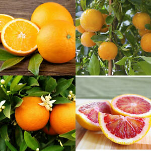 Details About Grafted Orange Citrus Trees 32 Tall Washington Glen Navel Red Blood Dwarf