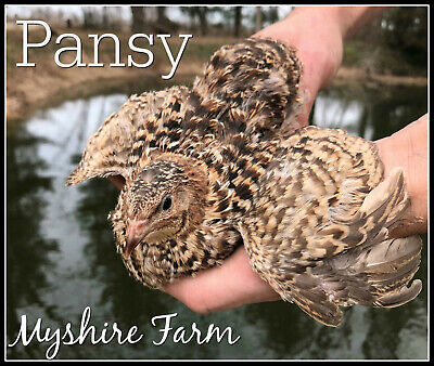 Our Top RARE Line 25 RARE Pearl//Snowie Coturnix Quail Hatching Eggs By Myshire