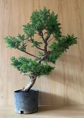 Nice Big Thick Huge Specimen Foemina Juniper Pre Bonsai Tree Conifer Evergreen Ebay