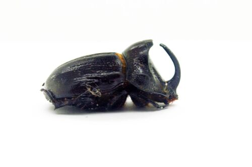 Pair - Tapah Hills Beetle M/'sia Dichodontus coronatus Perak Dynastidae