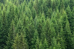 A1-Green-Forest-Poster-Art-Print-60-x-90cm-180gsm-Pine-Trees-Nature-Gift-8566