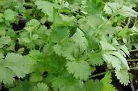 Cilantro Slow Bolting (coriander) Herb Heirloom Vegetable Bulk 1/4 Lb Seeds