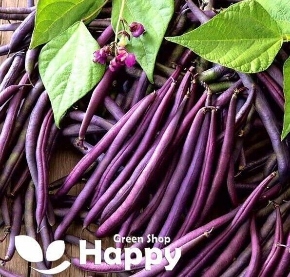 DWARF FRENCH BEAN - PURPLE QUEEN - 80 SEEDS - purple bean seeds - Phaseolus