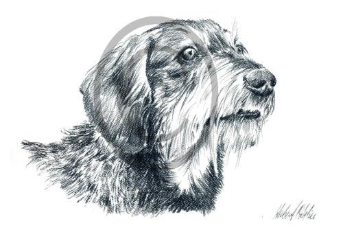 Tiere, Zeichnung Haustiere Hunde Kunstdruck Dackel Rauhaar 007