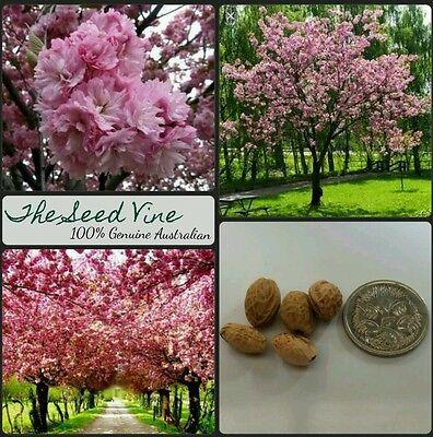 5 Cherry Blossom Seeds Prunus Serrulata Pink Tree Flower Popular Bonsai Plant Ebay