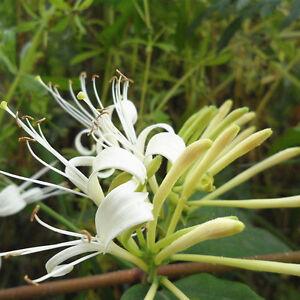 50Pcs-Chinese-Honeysuckle-Vine-Lonicera-japonica-Samen-Pflanzen-A
