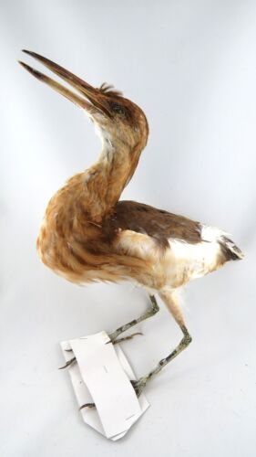 Javan Pond Heron Ardeola speciosa Complete Bird Taxidermy REAL 2
