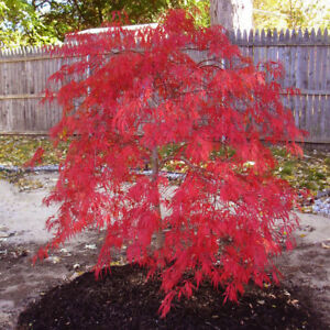 Details About Rare Red Dragon Japanese Maple Tree Seeds Acer Palmatum 25 Seeds
