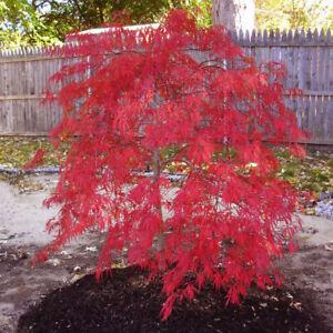 Rare Red Dragon Japanese Maple Tree Seeds Acer Palmatum 25 Seeds
