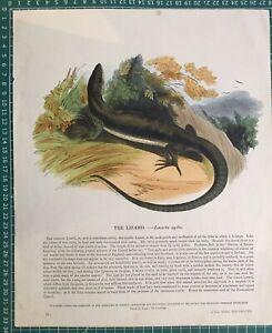 1845-Antique-Print-The-sand-lizard-Lacerta-agilis-by-SDUK