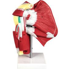Vevor Human Shoulder Joint Model Life Size Muscled Skeleton Model With Ligaments