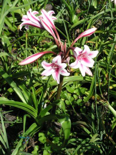 NEW RARE jumbo blooming-size bulb herbertii Schreck Crinum Lily