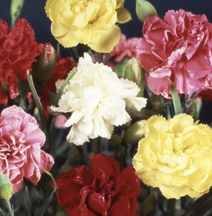 Garden Dianthus caryophyllus Triumph Mix Carnation Flower Plant In 9Cm Pot