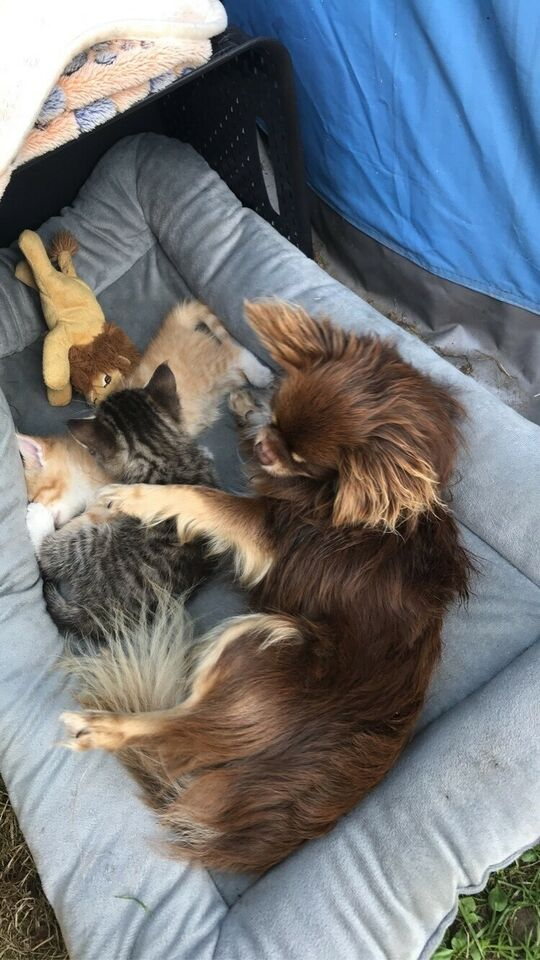 Chihuahua Choko tan , hund, 2 år