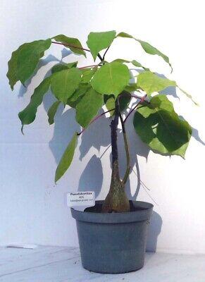 Pseudobombax Ellipticum bombax exotic shaving brush tree bottle bonsai #405