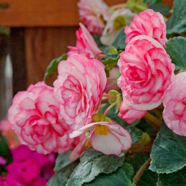 30Pcs Pink Begonia Semper Bonsai Flower Seeds Flowers Potted Indoor Home Garden