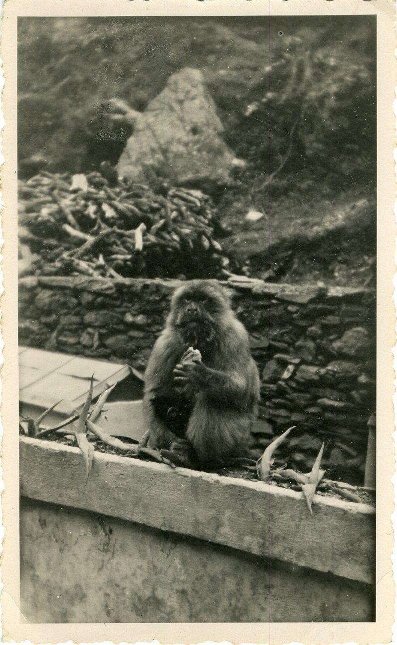 GUENON et son rejeton au Camp des Chênes Algérie 1948  Photo originale