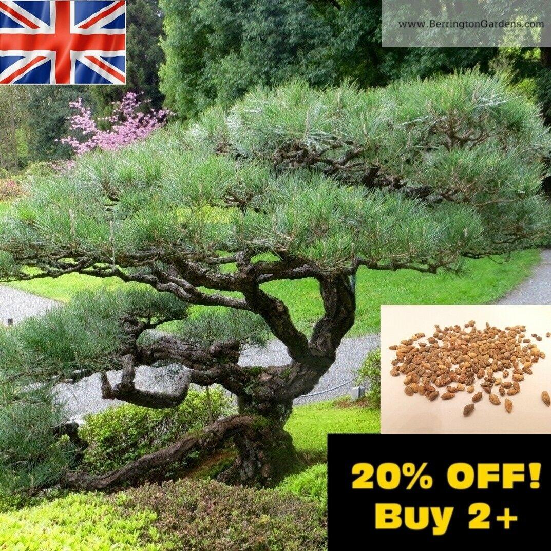 ☆Japanese Black Pine Tree 1g 70x Seeds (Pinus Thunbergii) Bonsai Subject UK