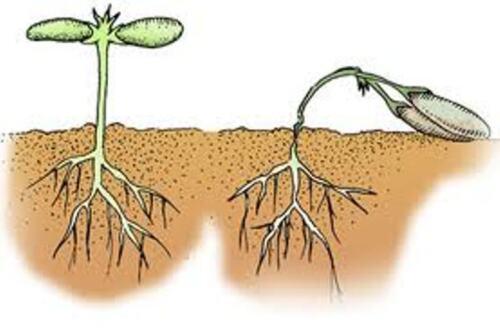 Fonte des semis-Chestnut//Cheshunt composé des semis de mort 10 g anti-fongique