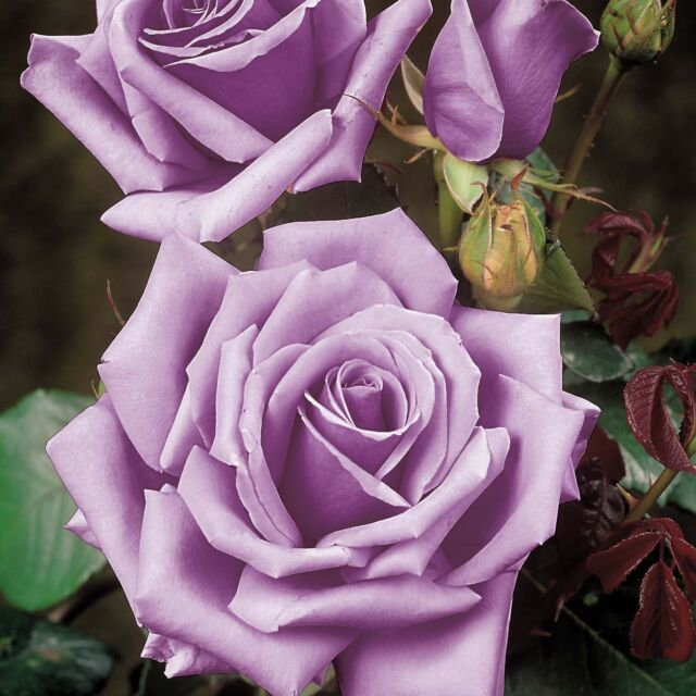 Blue Girl Rose Live Plant Bare Rooted