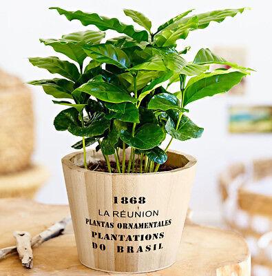 COFFEE PLANT - 7 seeds - Tropical Coffee house plant - Coffea arabica nana